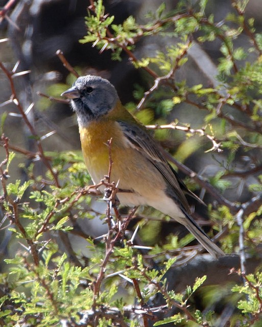 Gray-hooded Sierra-Finch (gayi/caniceps)