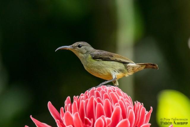 Purple-throated Sunbird (Purple-throated)