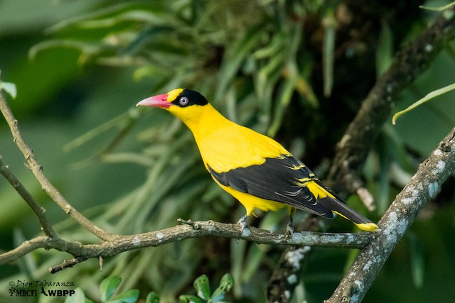 Black-naped Oriole (Philippine)