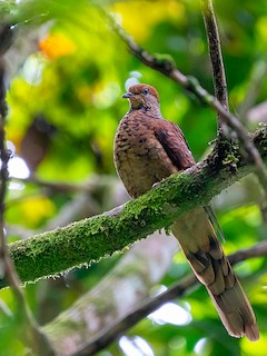Little Cuckoo-Dove, ML205721541