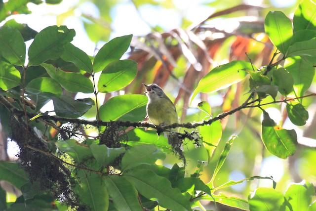 Island Leaf Warbler (Buru)