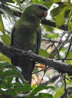- Black-lored Parrot