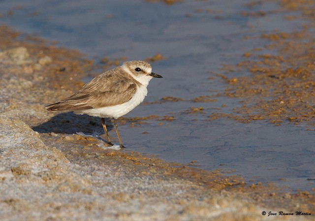 Kentish Plover (Kentish)