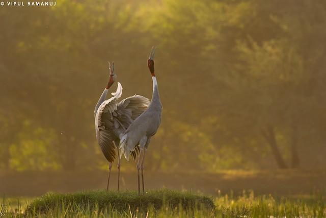 Sarus Crane