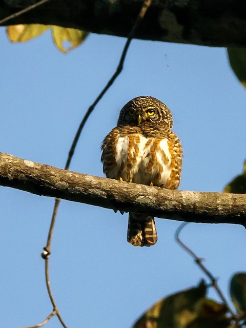 Collared Owlet (Collared)