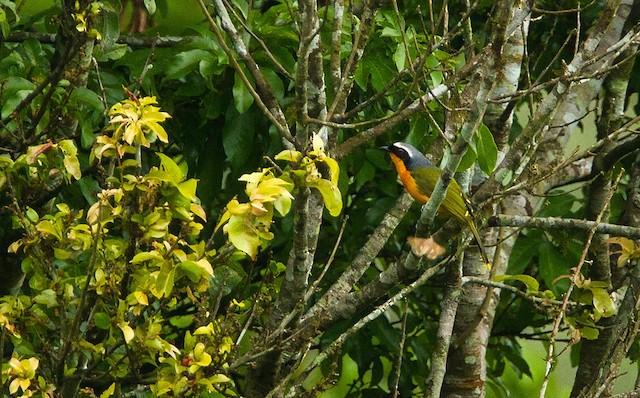 Many-colored Bushshrike