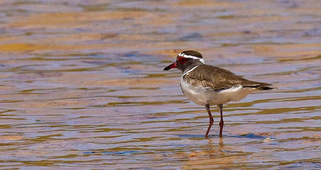Three-banded Plover (Madagascar)