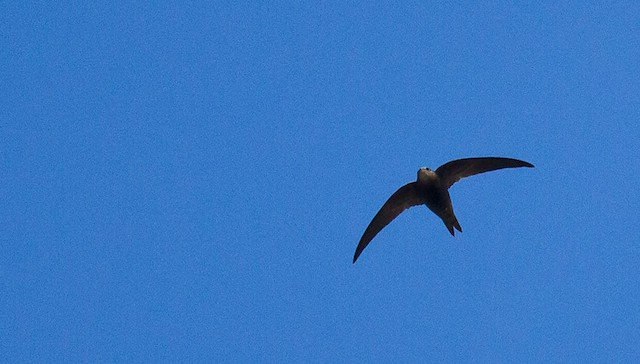 Madagascar Swift