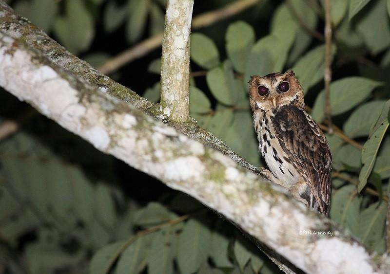 Giant Scops-Owl - Irene  Dy