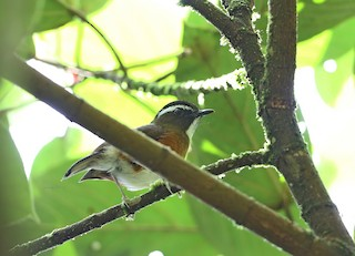 - Rusty-flanked Jungle-Flycatcher