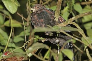 Salvadori's Pheasant (Salvadori's), ML205755361