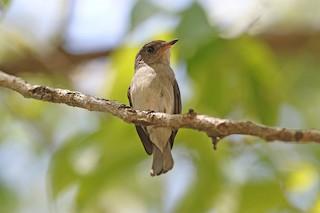 - Sumba Brown Flycatcher