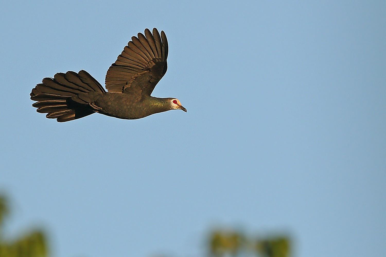 Sula Cuckoo-Dove - James Eaton