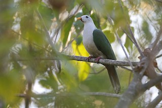 - Banggai Fruit-Dove