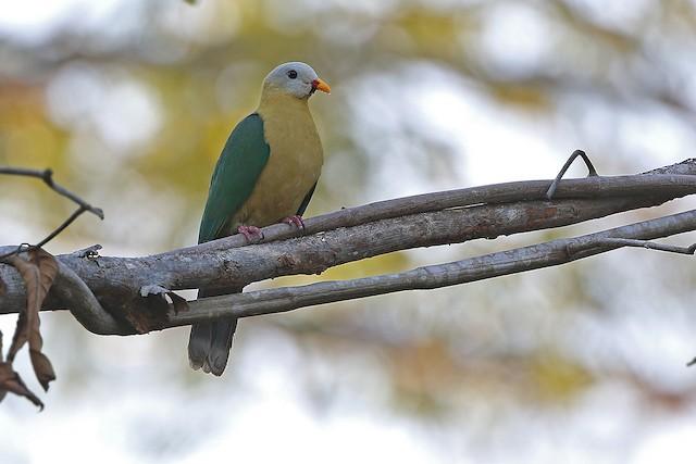 Sula Fruit-Dove