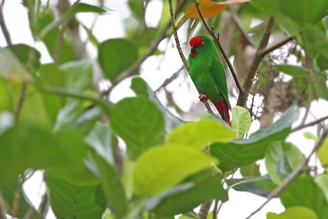 ©James Eaton - Sangihe Hanging-Parrot