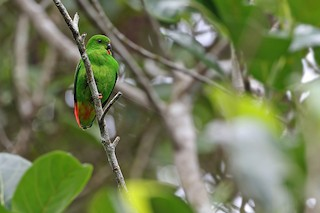 - Sangihe Hanging-Parrot