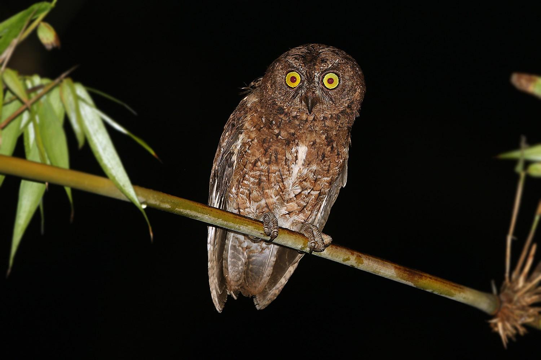 Sula Scops-Owl - James Eaton