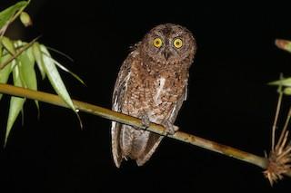 - Sula Scops-Owl
