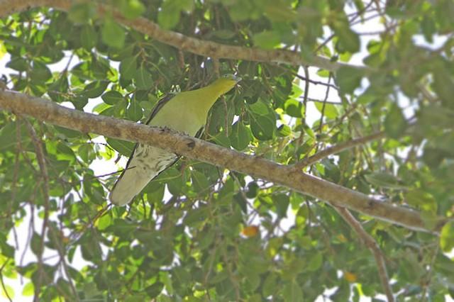 Buru Green-Pigeon