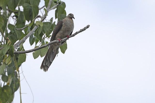 Flores Sea Cuckoo-Dove