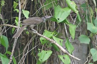 - Dusky Friarbird