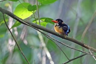 - Buru Dwarf-Kingfisher