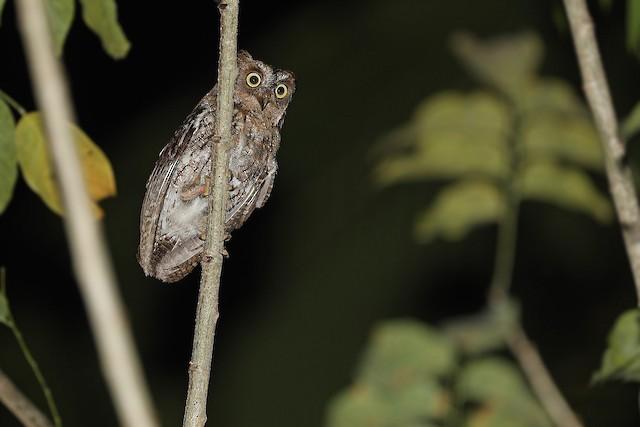 Rinjani Scops-Owl