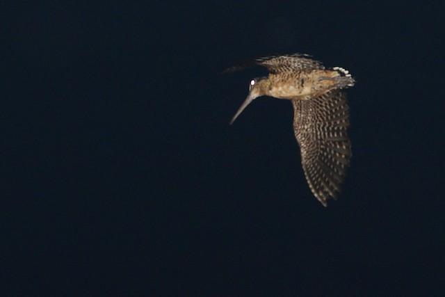 Moluccan Woodcock