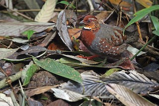 - Chestnut-breasted Partridge