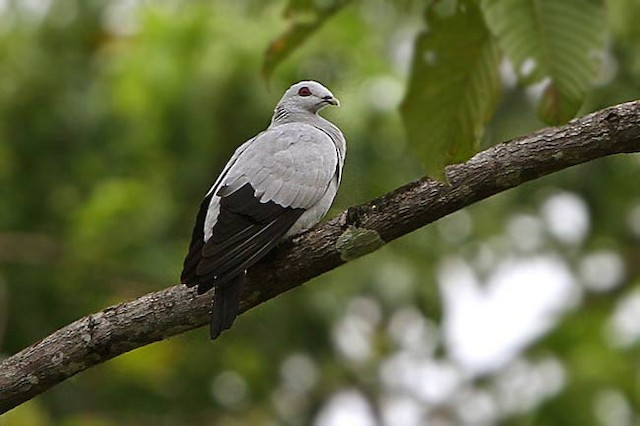 Silvery Wood-Pigeon