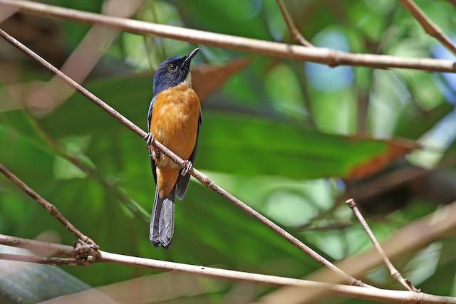 Sulawesi Blue Flycatcher (Tanahjampea)