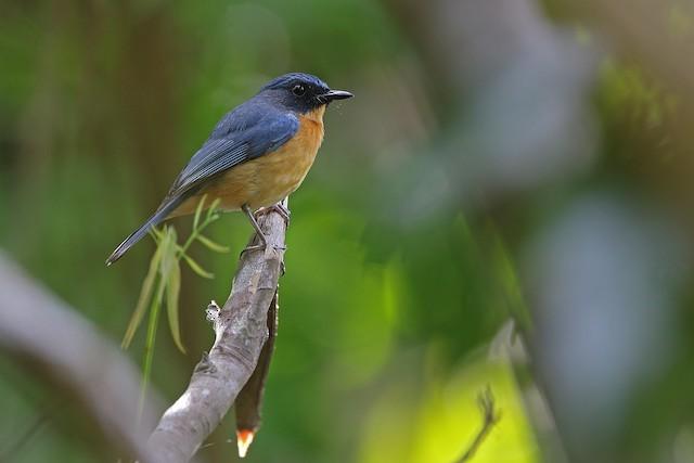 Sulawesi Blue Flycatcher (Sulawesi)