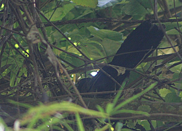 Black-hooded Coucal
