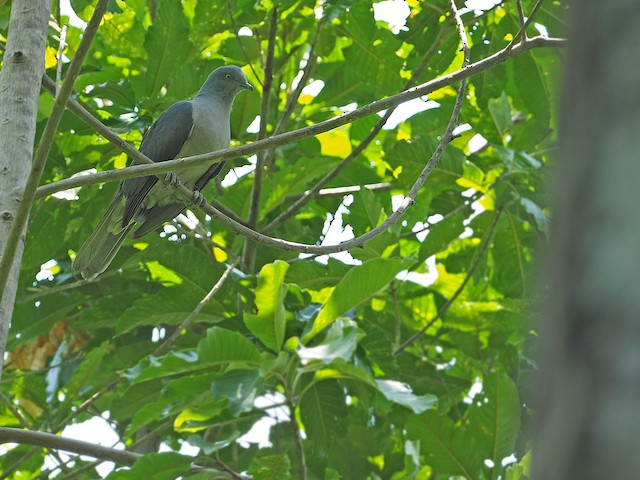 Timor Imperial-Pigeon
