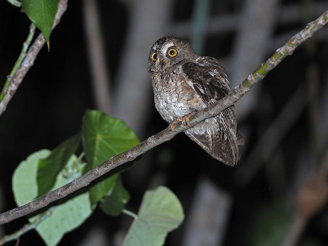 Moluccan Scops-Owl (Wetar)