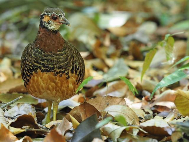 Chestnut-necklaced Partridge (Chestnut-necklaced)