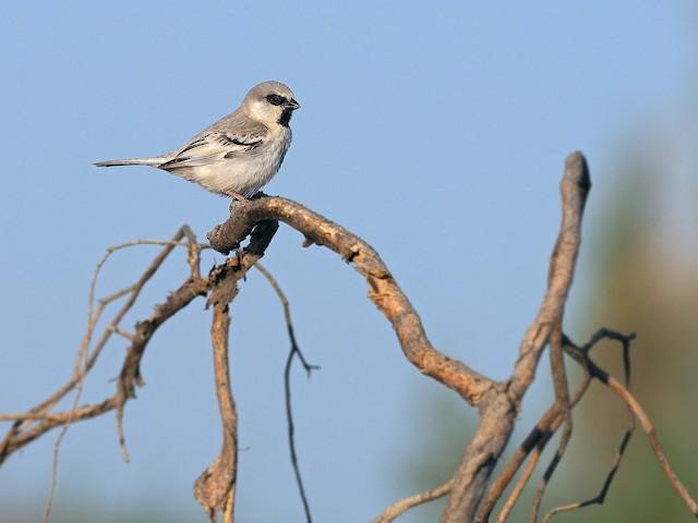 Zarudny's Sparrow