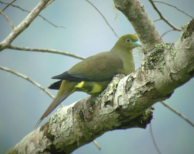 Green-spectacled Green-Pigeon
