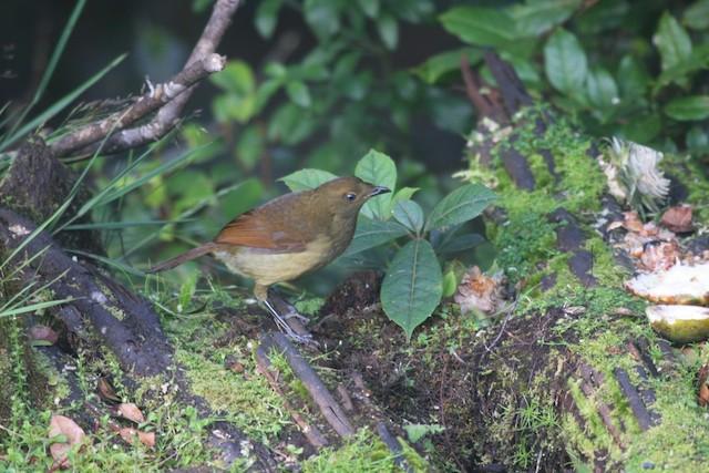 Crested Satinbird (Red)