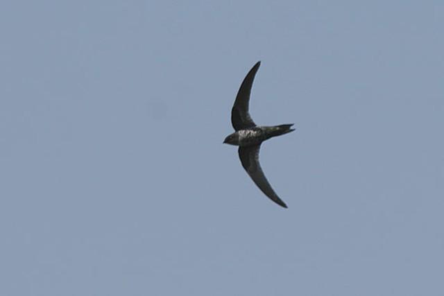 Dark-rumped Swift