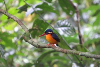 - New Britain Dwarf-Kingfisher
