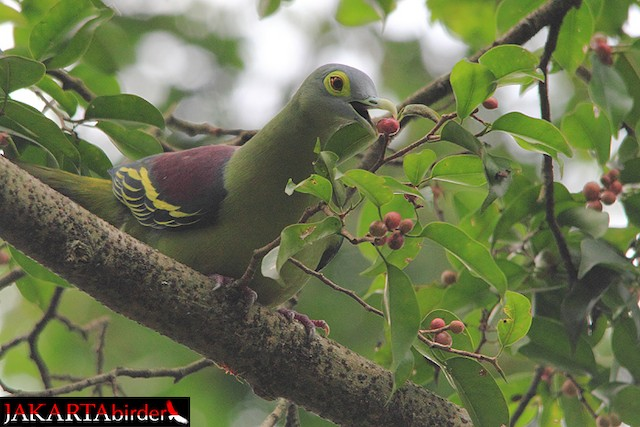 Gray-cheeked Green-Pigeon