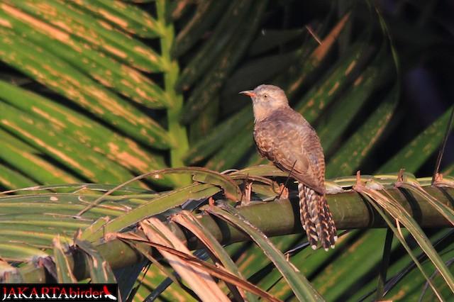 Plaintive Cuckoo