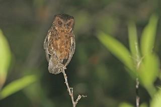 - Mentawai Scops-Owl