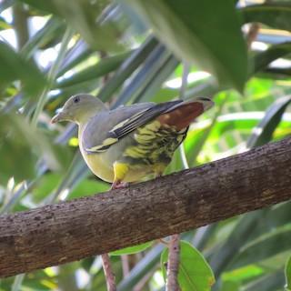 - Comoros Green-Pigeon