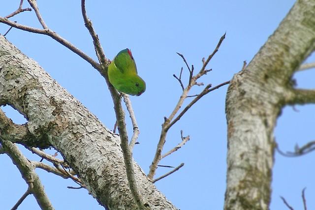 Pygmy Hanging-Parrot