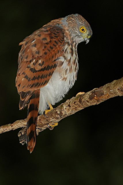 Vinous-breasted Sparrowhawk