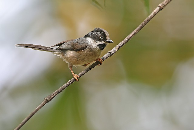 Black-throated Tit (Gray-crowned)
