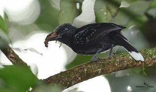 - Band-tailed Antshrike